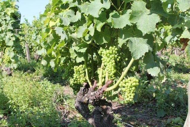 Les Vignes Du Châteu Raymond Laffon